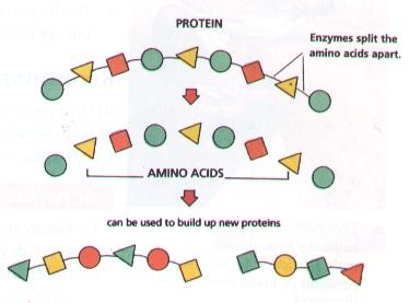 Proteins within our bodies? HELP?